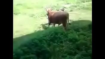Lusty Bull??